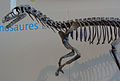 Eoraptor lunensis skeleton.JPG