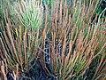 Ephedra fragilis 2.jpg