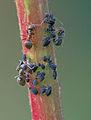 Epilobium tetragonum with Aphis fabae and ants, kantige basterdwederik zwarte bonenluis met mieren.jpg