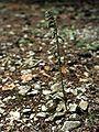 Epipactis microphylla Saarland 01.jpg