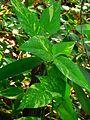 Epipremnum aureum (Golden pothos).jpg