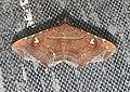 Episparis liturata Noctuidae by Dr. Raju Kasambe DSCN0249 (3).jpg