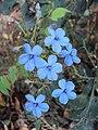 Eranthemum capense at Nedumpoil (17).jpg
