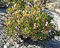 Ericameria cuneata 1.jpg