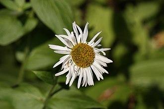 Erigeron aliceae - Image: Erigeron aliceae 3488