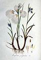 Eriophorum polystachion — Flora Batava — Volume v1.jpg