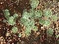 Eriospermum paradoxum Gifberg 04.jpg
