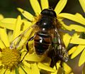 Eristalis tenax (male) - Flickr - S. Rae (1).jpg