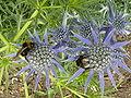 Eryngium bourgatii (Umbelliferae) flowers and bees.JPG
