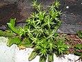 Eryngium foetidum-1-bsi-yercaud-salem-India.jpg
