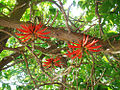 Erythrina coralloides, the Naked Coral Tree (9551571158).jpg