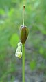 Erythronium grandiflorum ssp. grandiflorum green fruit pod just after flower with pistil still attached.jpg