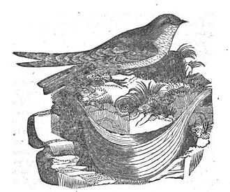 "Aerodramus - John Latham figure of the ""Esculent Swallow and its Nest"""