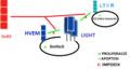 Esquema que mostra les consecuències de la unió de DcR3 a LIGHT.png