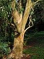 Eucalyptus, Taddiforde Brook valley - geograph.org.uk - 1039672.jpg