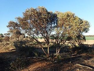 <i>Eucalyptus eremophila</i> Species of eucalyptus