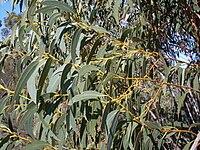 Eucalyptus luehmanniana waratah track