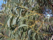 Eucalyptus luehmanniana httpsuploadwikimediaorgwikipediacommonsthu