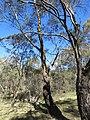 Eucalyptus sp. (23984261298).jpg