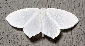 Eugonobapta nivosaria.jpg