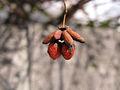 Euonymus alatus, fruit, -Hokkaidō, Japan 02.jpg