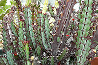 Euphorbia greenwayi 1