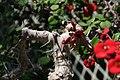 Euphorbia milii 15zz.jpg