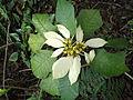 Euphorbia pulcherrima eckes white-bsi-yercaud-salem-India.JPG