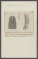 Euphrosyne myrtosa - - Print - Iconographia Zoologica - Special Collections University of Amsterdam - UBAINV0274 102 03 0010.tif