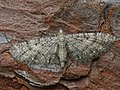 Eupithecia ?virgaureata - Goldenrod pug - Цветочная пяденица красновато-серая (26078082517).jpg