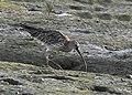 Eurasian Curlew, Jamnagar, Gujarat AMSM4052.jpg