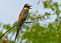 European Bee-eater (Merops apiaster) (11929921875).jpg