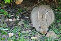 European Rabbit (Oryctolagus cuniculus) (17038036390).jpg