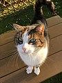 European Shorthair Cat.jpg
