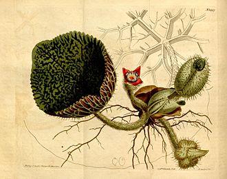 Euryale ferox - Illustration of Euryale ferox from Curtis's Botanical Magazine (1812).