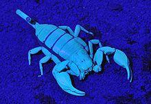 skorpion anatomie