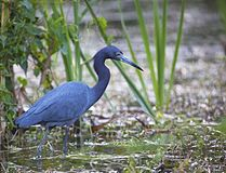 Everglades Little Blue Heron.jpg