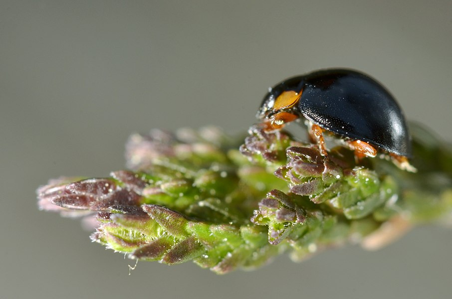 Exochomus nigromaculatus