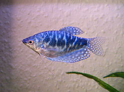 Un jeune gourami bleu d'élevage, variété cosby, en aquarium