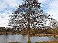Fagales - Alnus glutinosa - 1.jpg