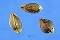 Fagopyrum esculentum nsh.jpg