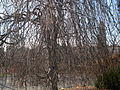 Fagus sylvatica - leafless.JPG
