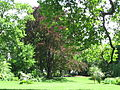 Fagus sylvatica f. purpurea 01 by Line1.JPG