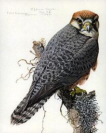 Falco biarmicusEYP08A.jpg