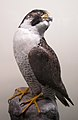 Falco peregrinus (taxidermied) at Göteborgs Naturhistoriska Museum 7987.jpg