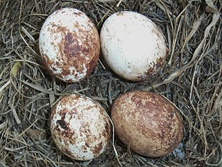 Sokol myšiar (lat. Falco tinnunculus) - vajíčka