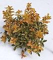 False Holly Osmanthus heterophyllus 'Goshiki' Plant 2000px.jpg