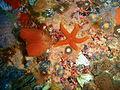 Fanworm and starfish at 18m depth at SURG Pinnacles PB248818.JPG