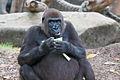 Female Gorilla at Taronga Zoo (6762961515).jpg