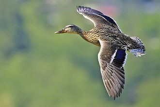 Flight - Female mallard duck